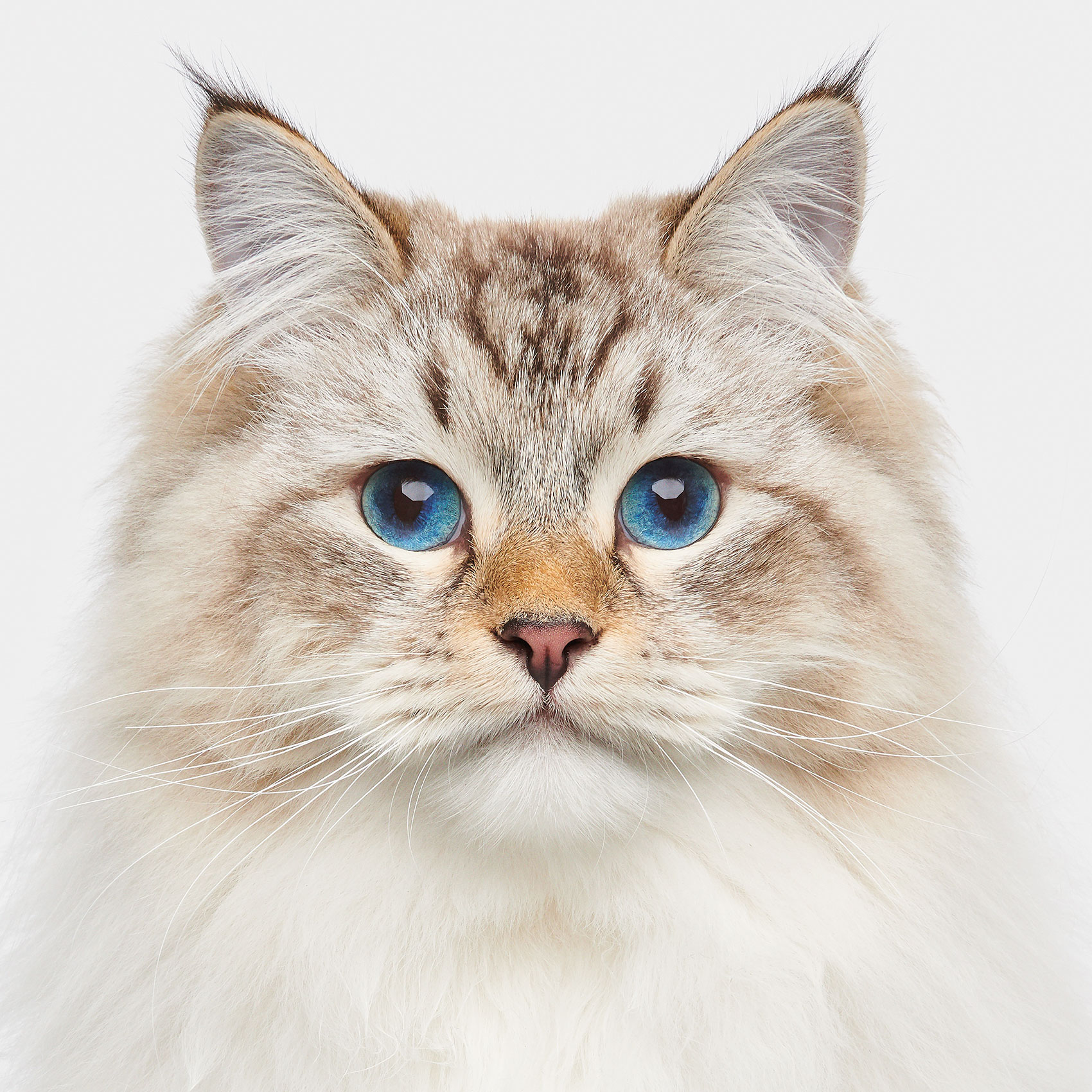 06_Squirrel_SiberianCat_01332
