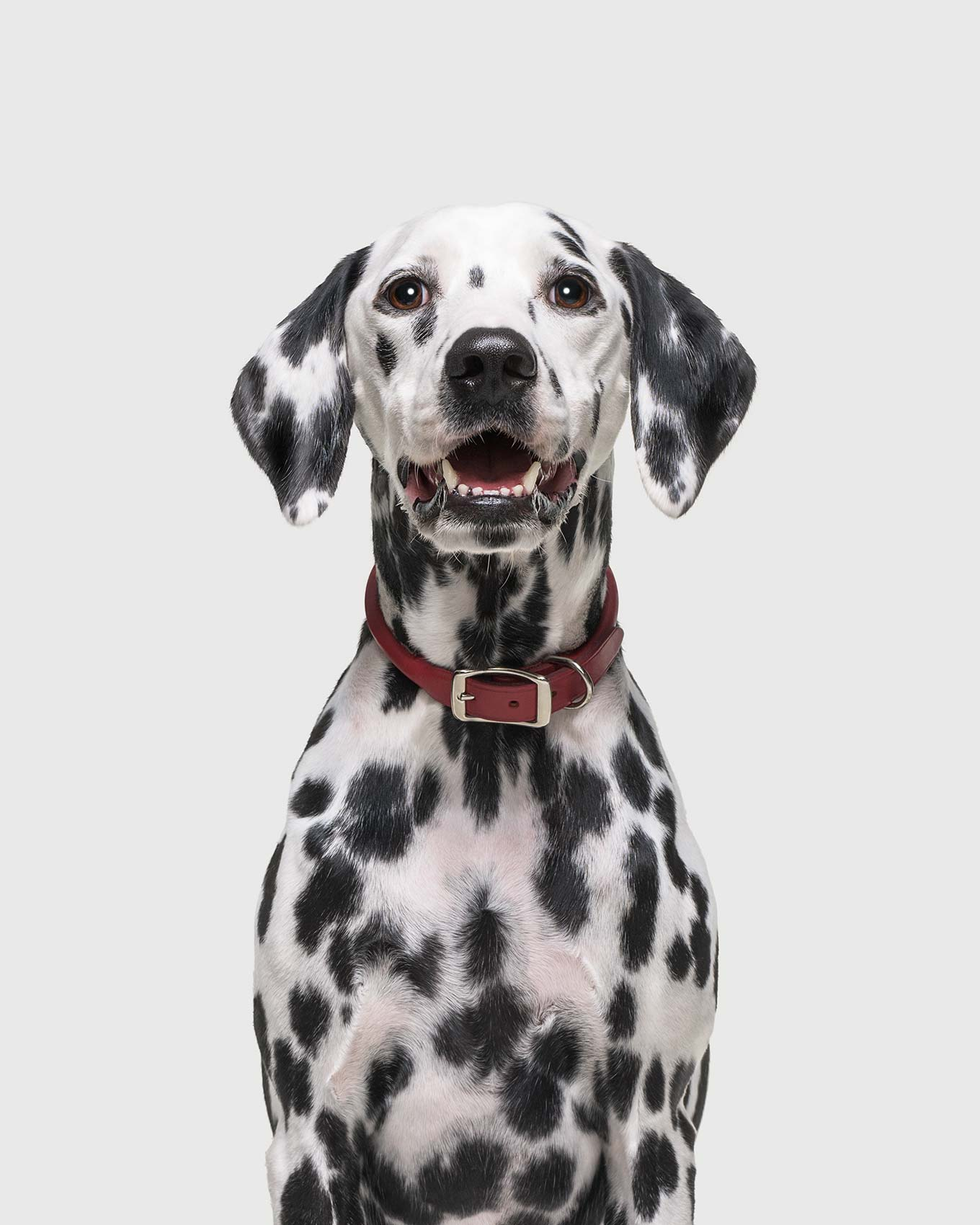 Dogs-Dalmation_Ford_00276_CMYK_EXT