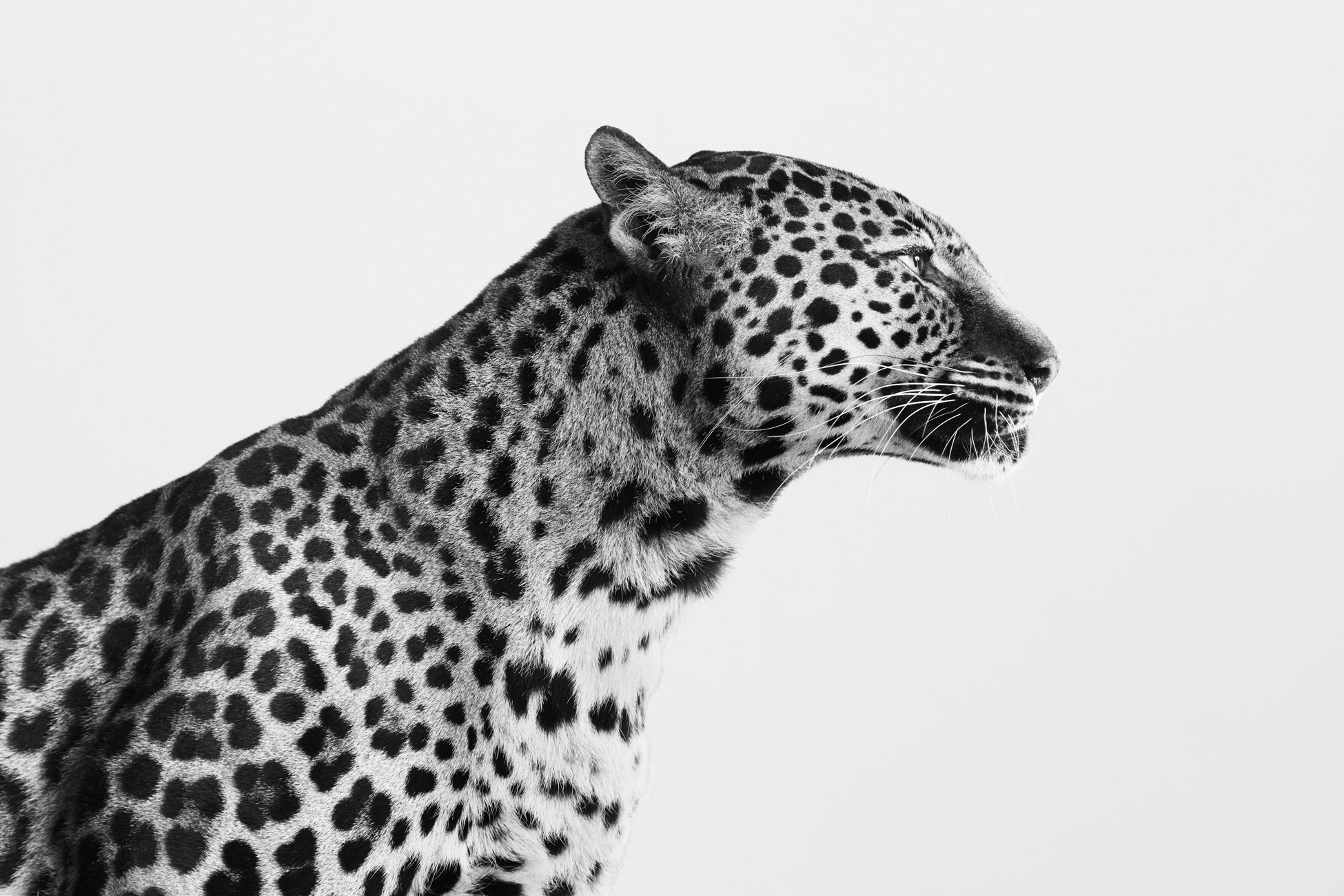 Spotted_Leopard_01_BW